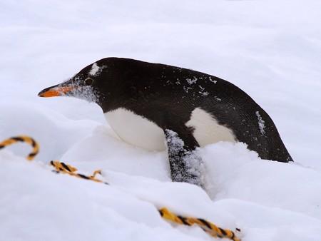 20140124 旭山 ペンギンの散歩18