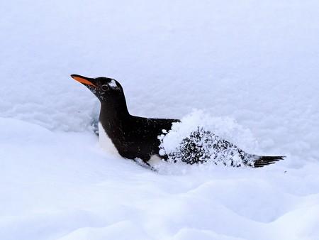 20140124 旭山 ペンギンの散歩16