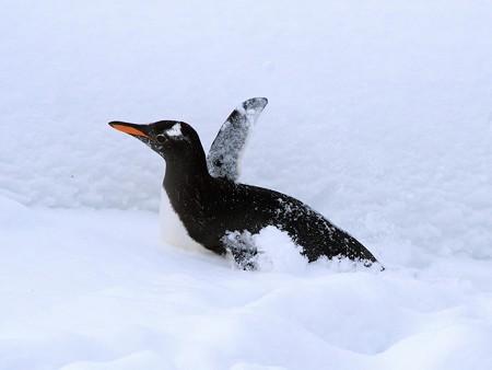 20140124 旭山 ペンギンの散歩15