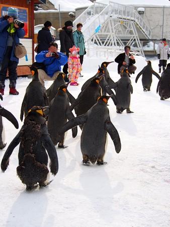 20140124 旭山 ペンギンの散歩31
