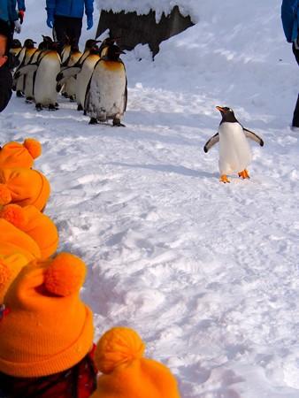 20140124 旭山 ペンギンの散歩29