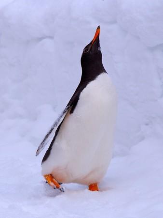 20140124 旭山 ペンギンの散歩28
