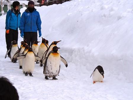 20140124 旭山 ペンギンの散歩23