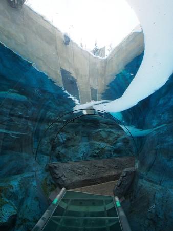20140124 旭山 ペンギンプール04