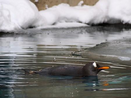 20140124 旭山 ペンギンプール02