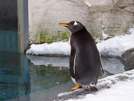 20140124 旭山 ペンギンプール01