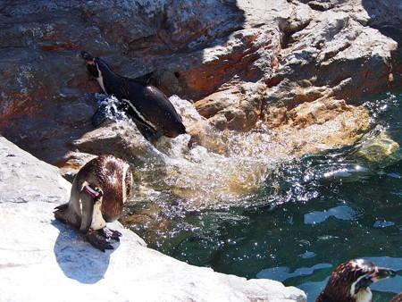 20130515 大洗 ペンギンプール05