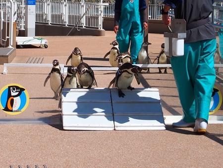20140315 大洗 ペンギンのお散歩03