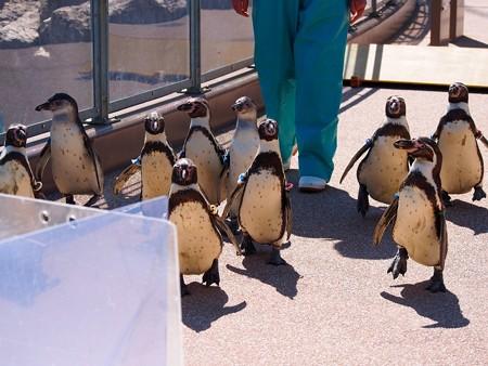 20140315 大洗 ペンギンのお散歩13