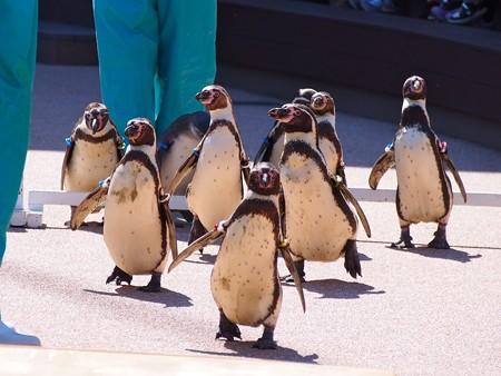 20140315 大洗 ペンギンのお散歩10