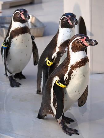 20140322 井の頭 ペンギンプール08
