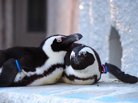 20140321 上野 ペンギン達07