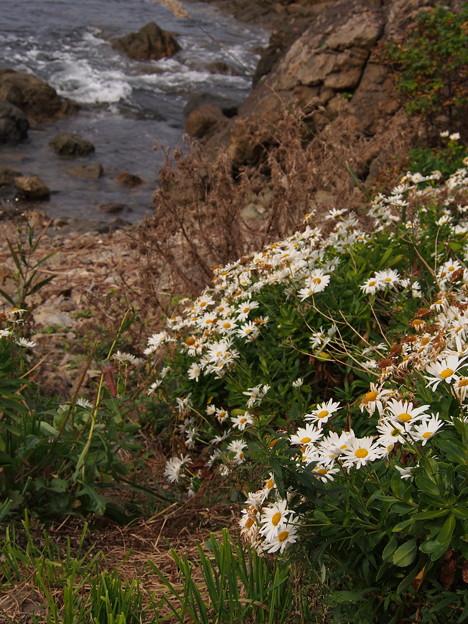 ハマギク咲く海岸