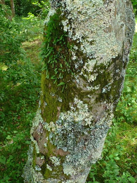 カエデの樹皮の地衣類、蘚苔類 P1080238