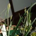 Thelymitra x macmillanii つぼみ P2075002