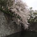 Photos: 駿府城の春