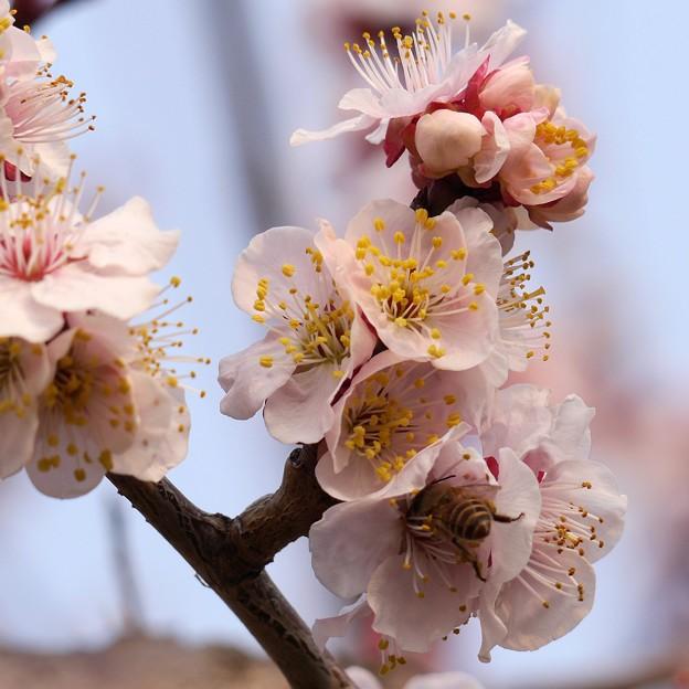 梅の花、桃の花には咲きません