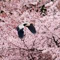 Photos: お花見サギ