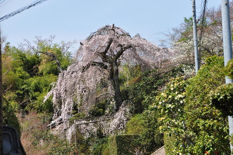 遍照院の枝垂桜