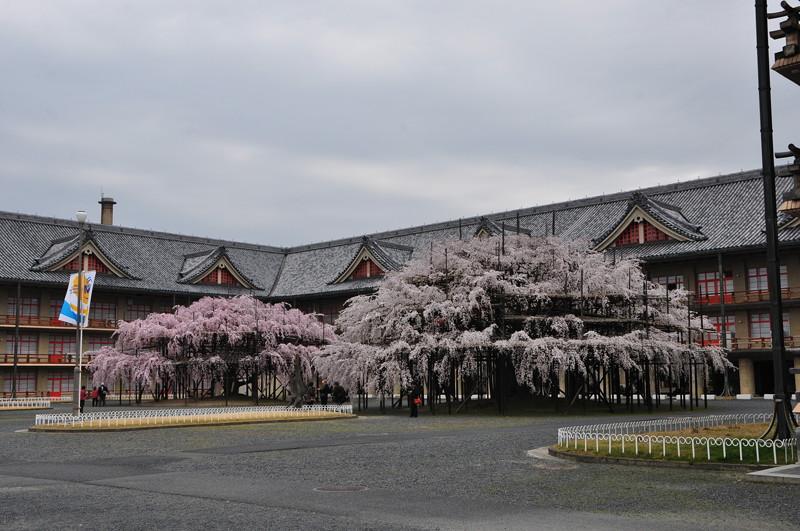 天理教会本部の大しだれ桜2