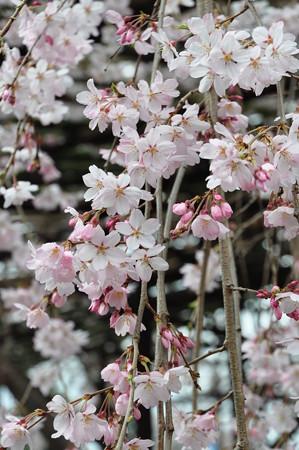 天理教会本部の大しだれ桜3