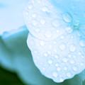Photos: 涼しさを求めて 水滴と紫陽花 5