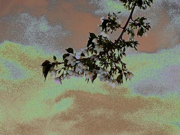 オオシマザクラ 印象 3