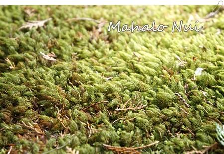 苔をアップで撮ったらまるでほんとの絨毯みたい