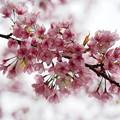 Photos: 2013桜