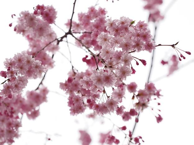 2013桜_大宮公園_3