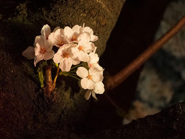 2014桜_目黒川_2