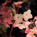 写真: 2014桜_目黒川_3