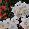 Photos: 130328桜01