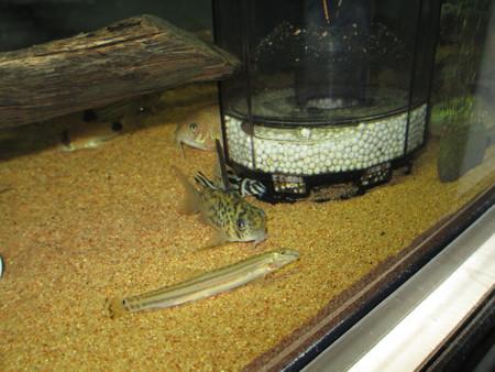 20121122 60cmコリドラス水槽のインペリアルゼブラプレコと他
