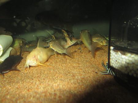 20121129 60cmコリドラス水槽のコリドラス達とインペリアルゼブラプレコ