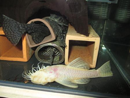 20121129 45cmプレコ水槽のプレコ達