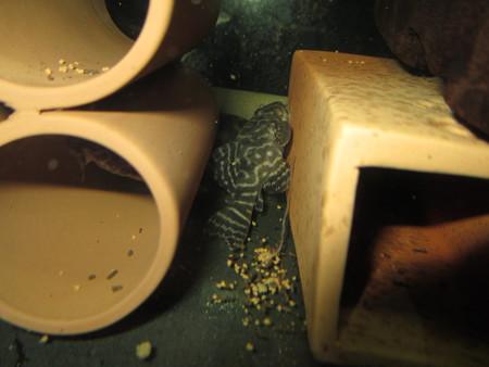 20130109 45cmプレコ水槽のオリノコゼブラプレコ