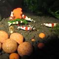 Photos: 20130301 60cmエビ水槽のスクマイキの食い付き