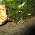 Photos: 20130301 60cmエビ水槽の若ビー達