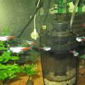 20130302 60cmコリドラス水槽のネオンテトラ