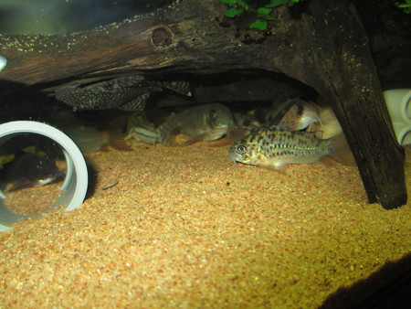 20130304 60cmコリドラス水槽のコリドラス達