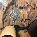 Photos: 20130309 45cmプレコ水槽のタイガープレコ