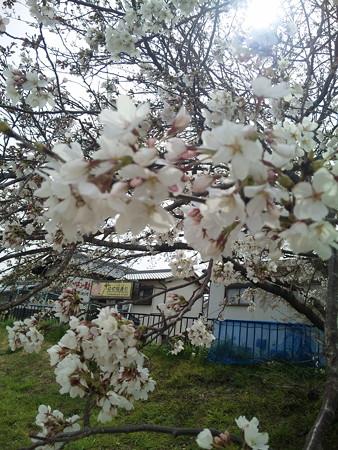20130326 桜堤公園の桜2