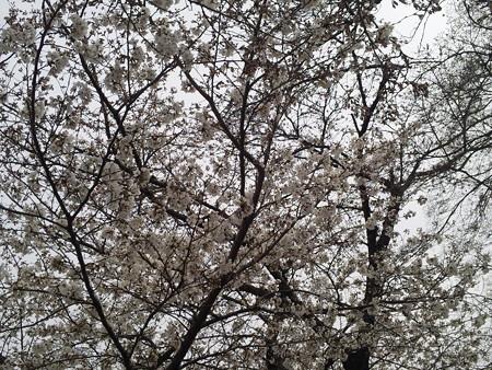 20130326 桜堤公園の桜1