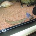 20130815 60cmコリドラス水槽のドジョウ