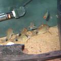 Photos: 20140327 60cmコリドラス水槽のコリドラス達