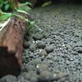 Photos: 20140327 60cmエビ水槽の稚エビ