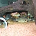 Photos: 20140403 60cmコリドラス水槽のコリドラス達