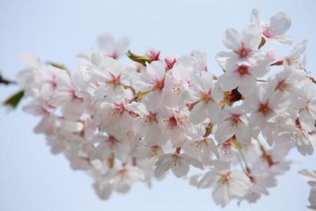 小田原市慰霊塔の桜 (12)