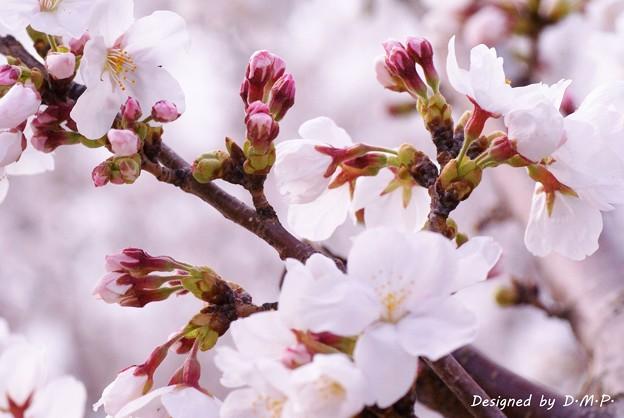 Photos: 桜de 1枚で3度(ry